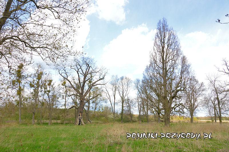 Zakrzewo - pomnikowe dęby na skraju wsi