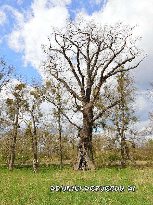 Zakrzewo - pomnikowy dąb o obwodzie 620 cm
