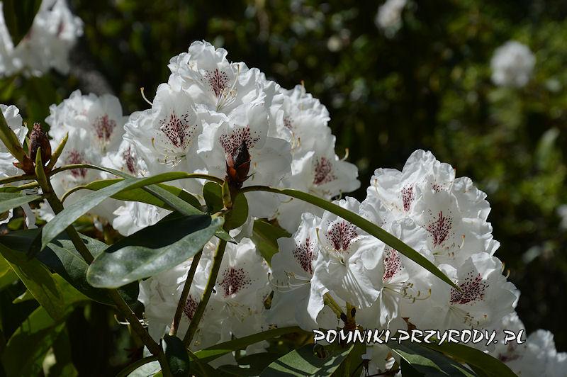białe kwiaty różanecznika
