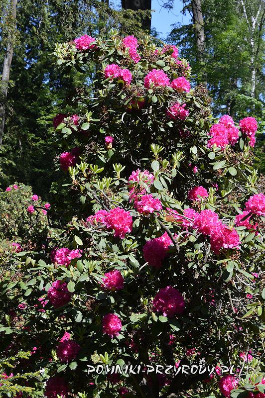 fioletowe kwiaty różanecznika