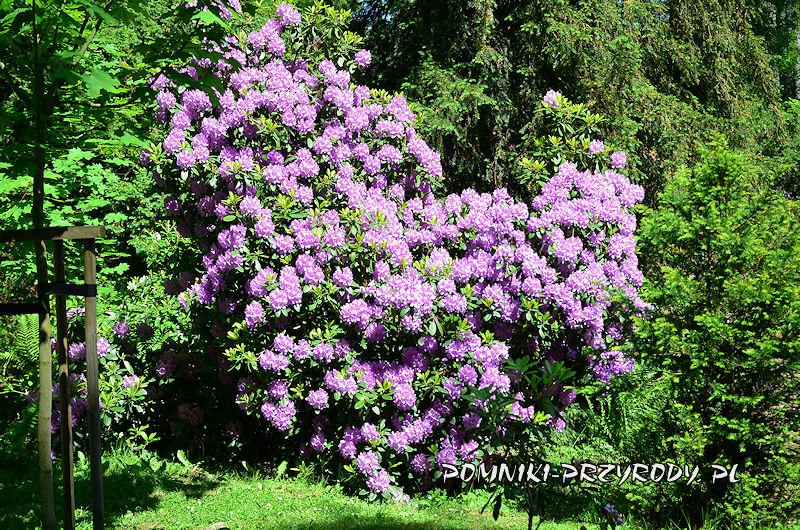 kwitnący krzew różanecznika