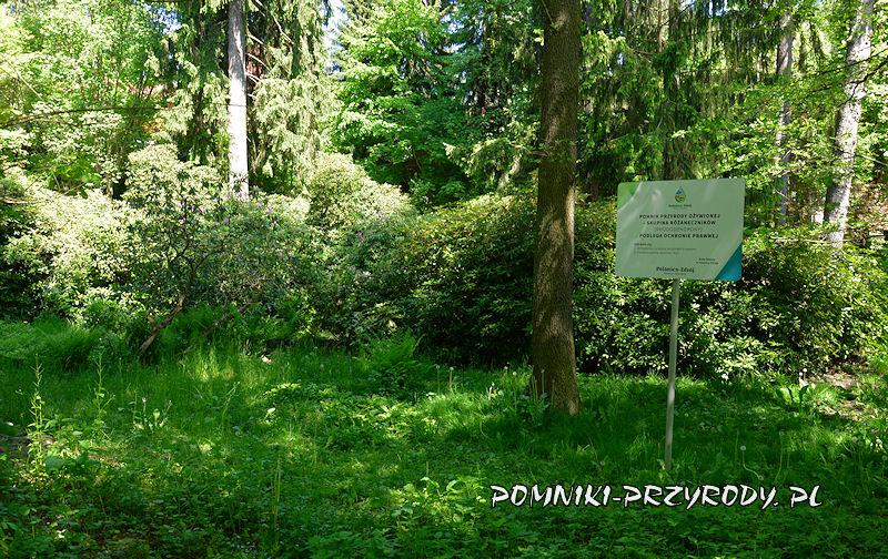 oznakowane tablicą pomnikowe skupisko różaneczników w Polanicy-Zdroju