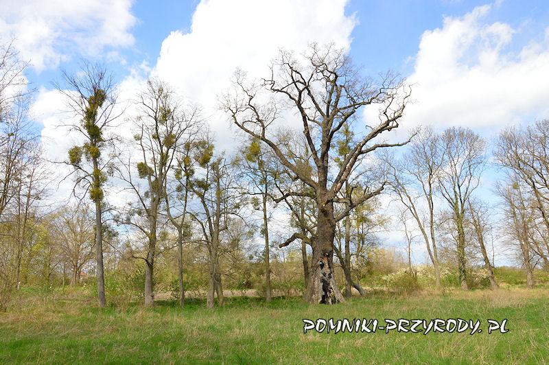pomnikowy dąb o obwodzie 620 cm w Zakrzewie