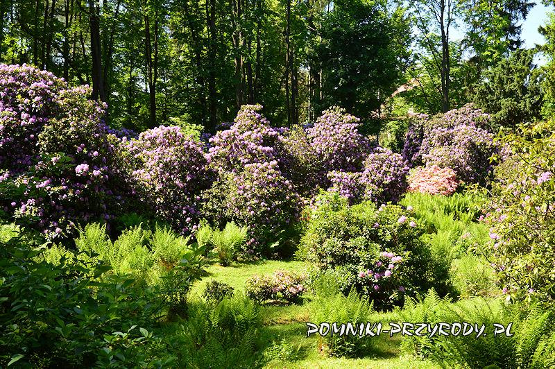 rododendrony w Polanicy-Zdroju