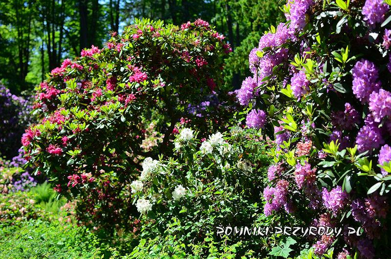 rododendrony z Polanicy-Zdroju