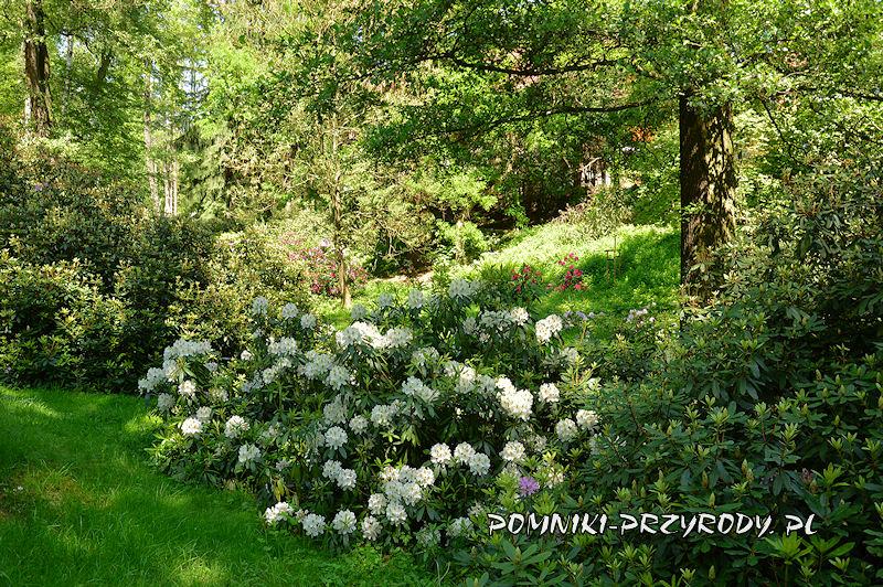 różaneczniki w Polanicy-Zdroju na początku kwitnienia