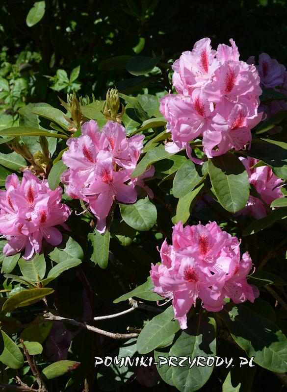różowe kwiaty różanecznika