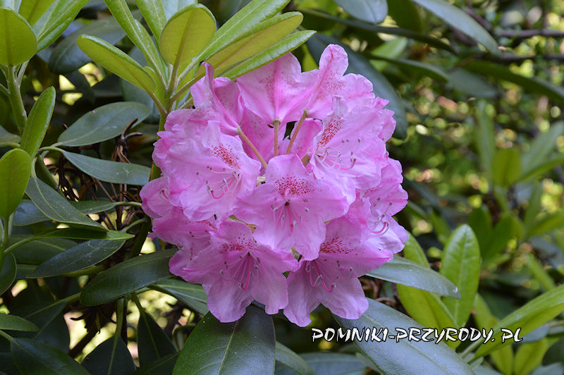 zbliżenie kwiatów różanecznika