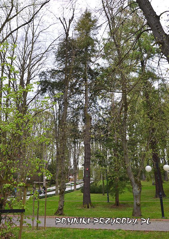 Park Centralny w Polanicy - pomnikowa choina kanadyjska