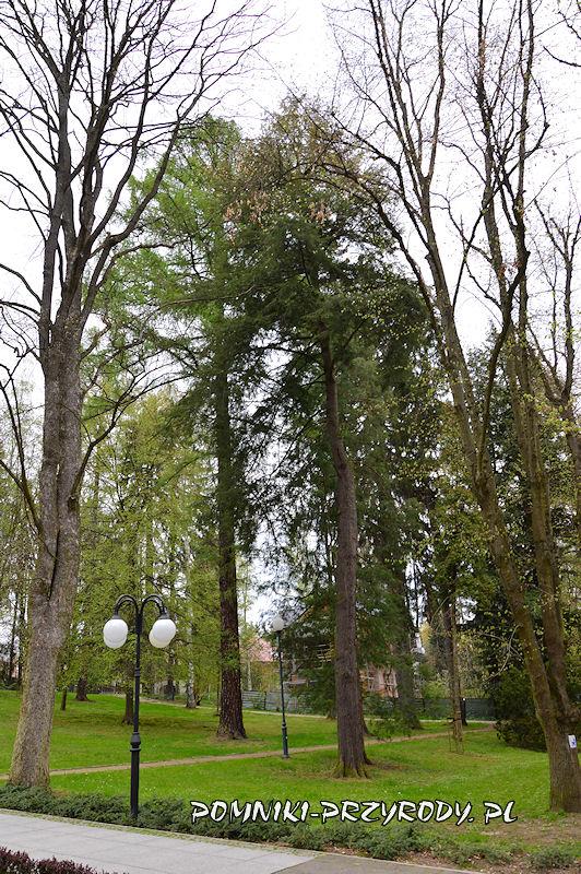 Park Centralny w Polanicy - pomnikowy modrzew i choina kanadyjska
