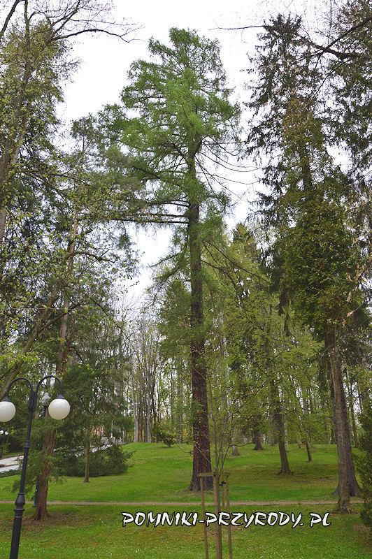 Park Centralny w Polanicy - pomnikowy modrzew