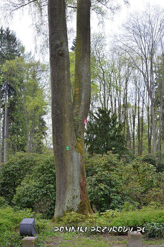 Park Różaneczników w Polanicy - pień pomnikowego jesionu