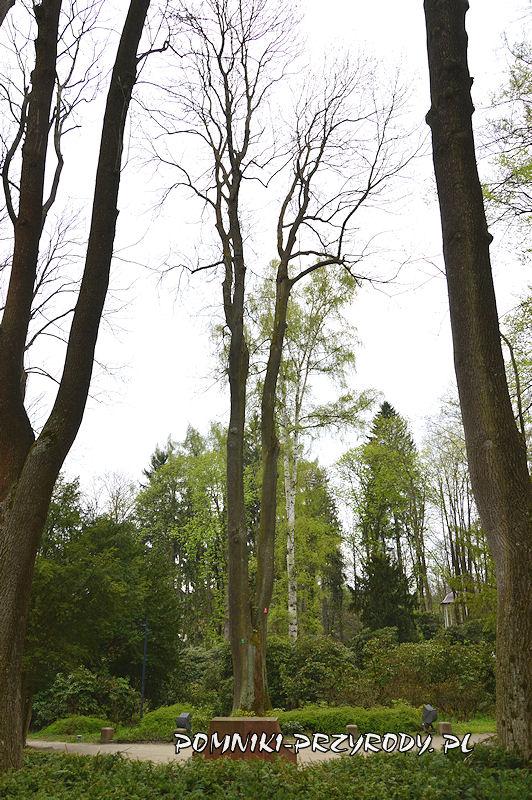 Park Różaneczników w Polanicy - pomnikowy jesion wyniosły
