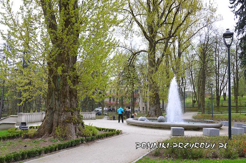 Park Szachowy - pnie pomnikowych topól