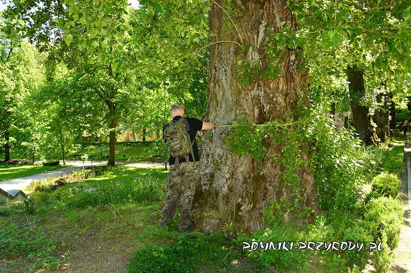 Park Szachowy - pomiar obwodu pomnikowej topoli