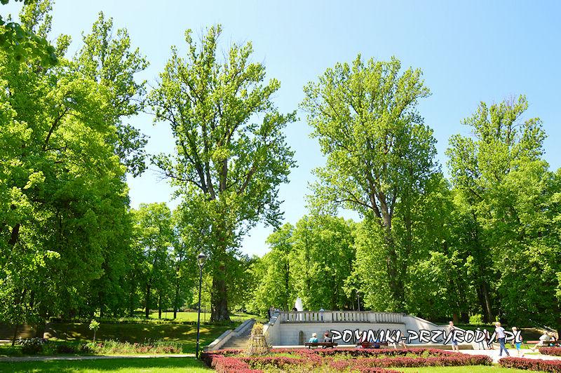 Park Szachowy - pomnikowe topole latem