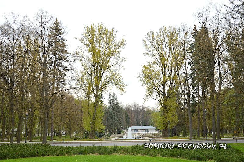 Park Szachowy - pomnikowe topole wiosną