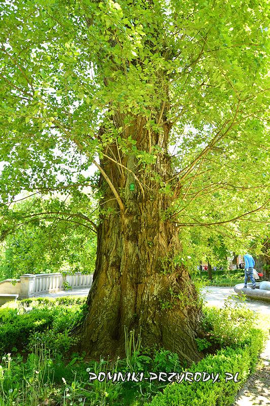 Park Szachowy w Polanicy - pień pomnikowej topoli