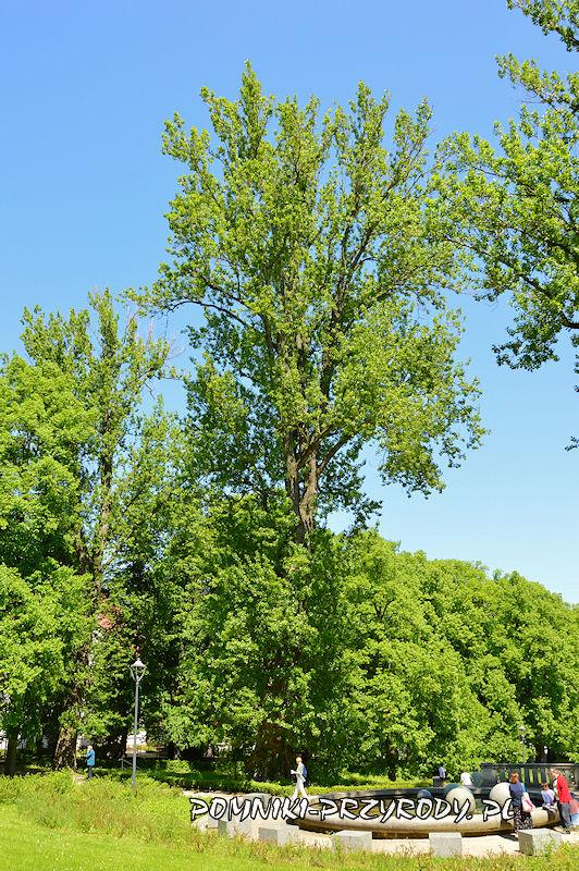 Park Szachowy w Polanicy - pomnikowa topola rosnąca na północ od fontanny
