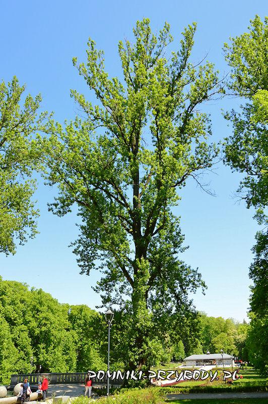 Park Szachowy w Polanicy - pomnikowa topola rosnąca na południe od fontanny