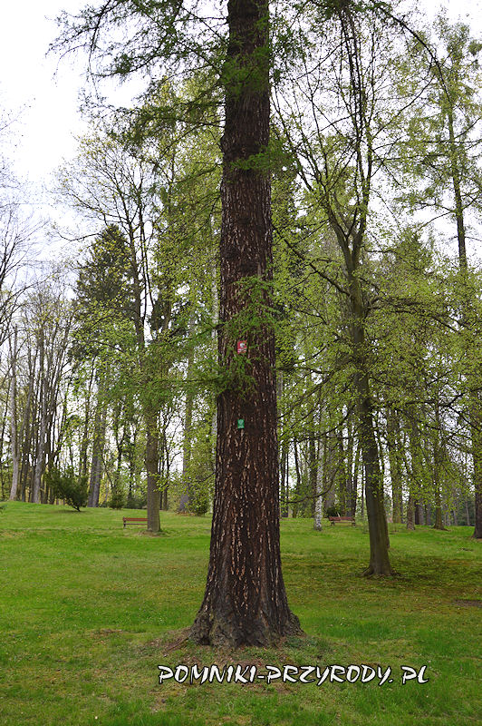 Park Zdrojowy w Polanicy - pień pomnikowego modrzewia