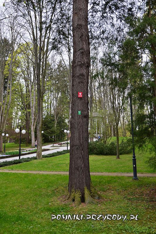 Park Zdrojowy w Polanicy - pień pomnikowej choiny kanadyjskiej