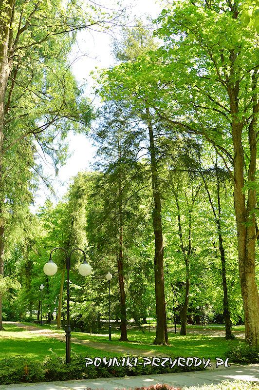 Park Zdrojowy w Polanicy - pomnikowa choina kanadyjska