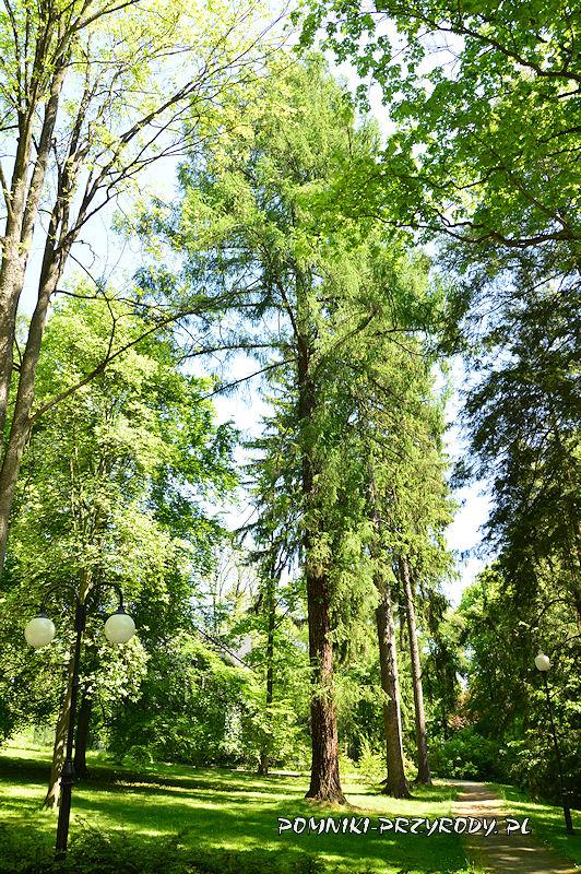 Park Zdrojowy w Polanicy - pomnikowy modrzew