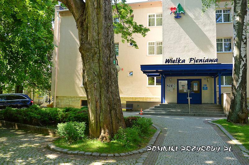 pień pomnikowego jawora na tle sanatorium Wielka Pieniawa