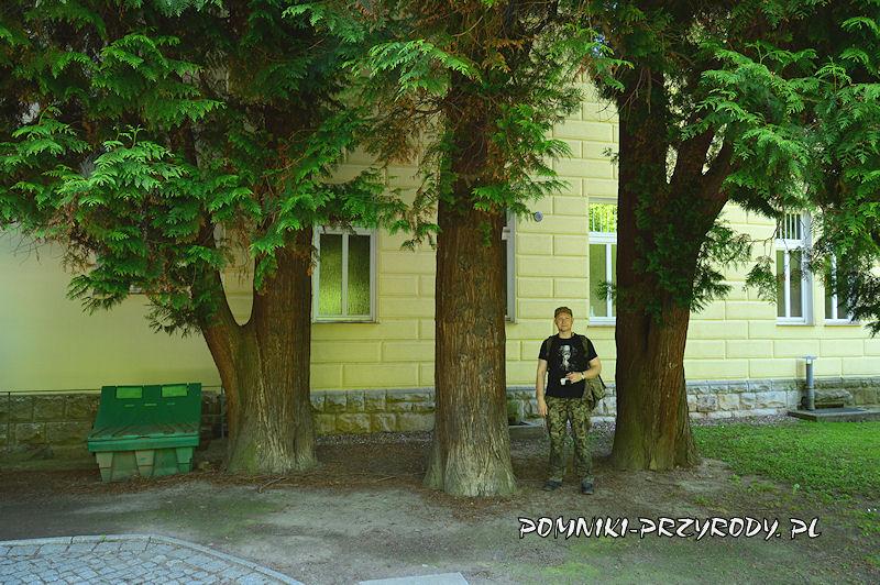 pnie trzech pomnikowych żywotników rosnących przy ścianie sanatorium